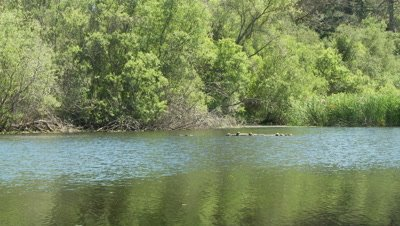 Western Pond Turtle,see them resting on floating log in the distance