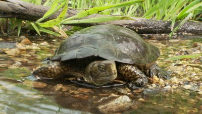 Western Pond Turtle,faces lens,slowly turns and walks away