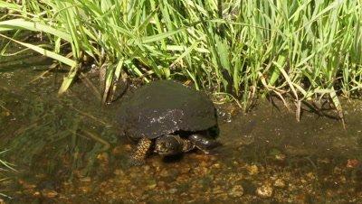 Western Pond Turtle,turns and walks up creek