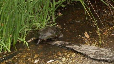 Western Pond Turtle,walks up creek and hides