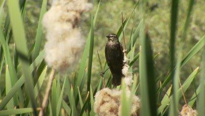 Western Pond Turtle,habitat,bird above reeds