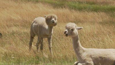 Alpaca,freshly sheared