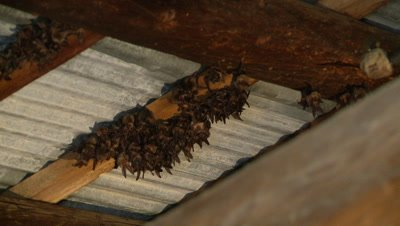 Bats,Townsend's big-eared bats hanging unsidedown of roof