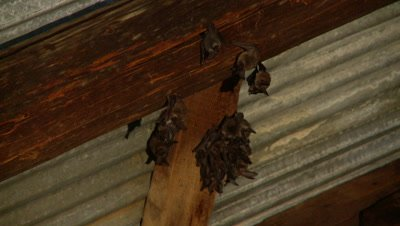 Bats,Townsend's big-eared bats hanging unsidedown of roof beams,one stretches wings,flies off