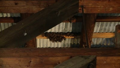 Bats,Townsend's big-eared bats,big colony,lots of flying and landing on roof beam