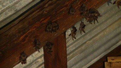 Bats,Townsend's big-eared bats hanging unsidedown,loose group,flying