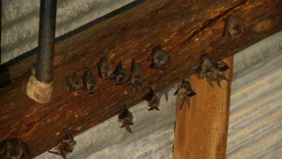 Bats,Townsend's big-eared bats hanging unsidedown of roof beams,loose group