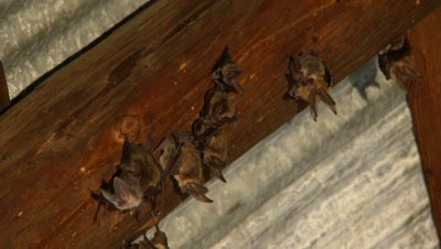 Bats,Townsend's big-eared bats hanging unsidedown of roof beams,loose group,looking around