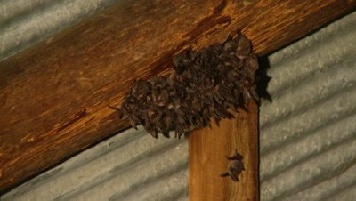 Bats,Townsend's big-eared bats hanging unsidedown of roof beams,tight group