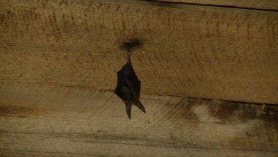 Bats,Townsend's big-eared bat,single animal,hanging unsidedown of roof beam