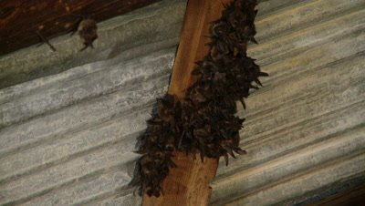 Bats,Townsend's big-eared bat,large group,hanging unsidedown of roof beam