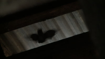 Bats,Townsend's big-eared bat,shadows moving in and out of roof beams