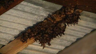 Bats,Townsend's big-eared bat,large group,hanging unsidedown of roof beam,movement