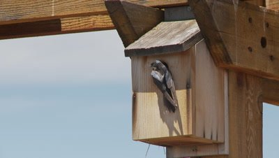 Bluebird,western bluebird flies to nestbox,deposits food for chick