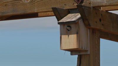 Bluebird,western bluebird adult departs nest box,flies away