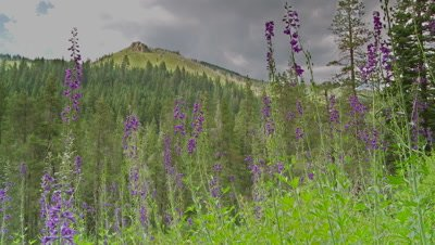 Wildflower,purple mountain larkspur in foreground
