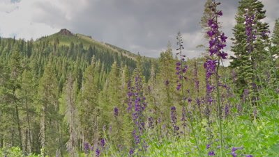 Wild flowers,purple mountain larkspur in foreground