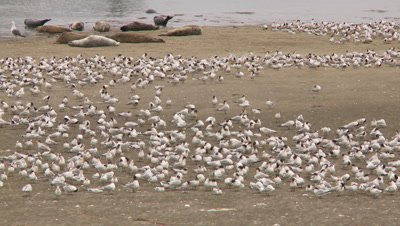 Tern,elegant tern migration,thousands of birds,see harbor seals