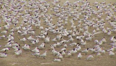 Elegant tern flock,preening,flying,landing