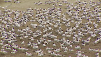Elegant tern flock,preening,birds start walking fast