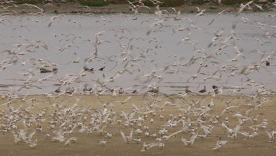 Elegant tern flock,birds landing and flying fast
