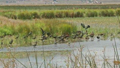 Ibis,white faced ibis flock in marshland