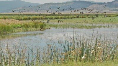 White faced ibis flock takes to flight over marshland