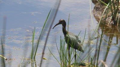 White faced ibis takes to flight