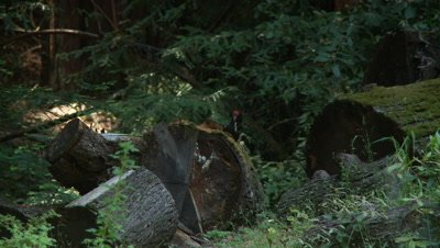 Pileated woodpecker feeding on insects inside log,squirrel runs thru frame