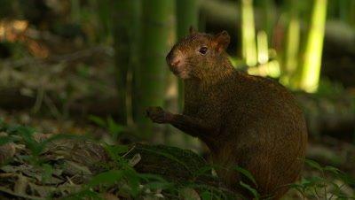 Agouti,Central American forest mammal