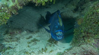 Parrotfish with remora in a small cave,blue parrotfish