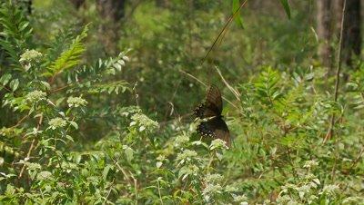 Swallowtail butterfly,Spicebush Swallowtail,feeding on milkweed
