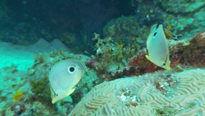 Butteryfly fish,four eye butterfly fish pair swim over reef