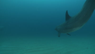Bottlenose dolphin swims over camera shoulder and away