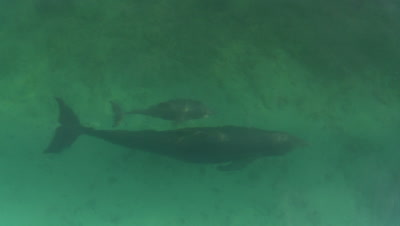 Bottlenose dolphin mother and her baby swim past lens,shot from overhead