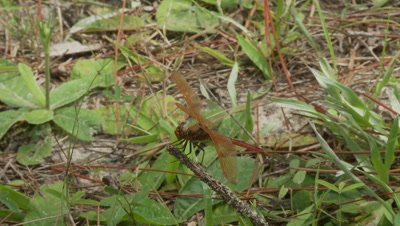 Dragonfly,male flame skimmer in Mississippi bayou