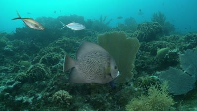Gray angelfish swims over reef