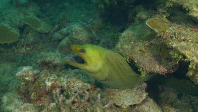 Eel,green moray eel comes out from under ledge towards lens