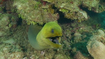 Eel,green moray eel in front of ledge,its mouth agape
