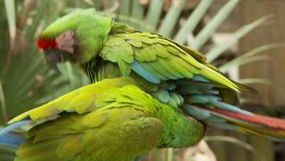 Macaws,military macaw pair on perch,show affection,threatened species
