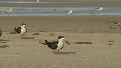 Shore birds,black skimmers foreground,turns and walks