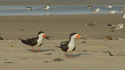 Shore birds,black skimmer pair on beach