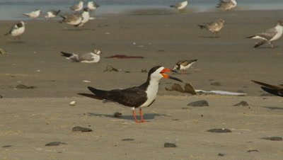 Shore birds. black skimmer chatting in foreground,gulls,ruddy turnstone background