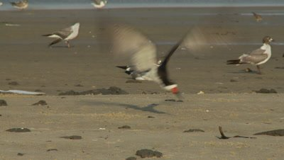 Shore birds,black skimmer on beach raises up to fly