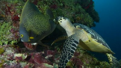 Hawksbill turtle feeds on sponge,french angelfish swim by,critically endangered