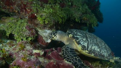 Hawsbill turtle feeding on sponge with angelfish,critically endangered
