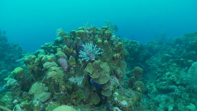 Lionfish swims over reef,invasive species in Caribbean