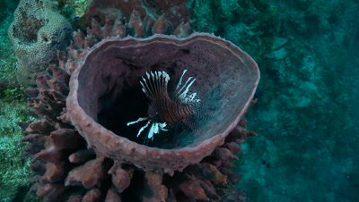 Lionfish hovers inside sponge,hunting,invasive species in Caribbean