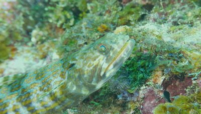 Lizardfish on reef