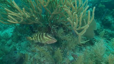 Nassau grouper camouflaged along coral reef,endangered species